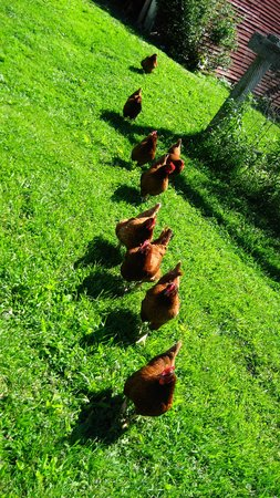 Charlemont, MA: Hens in a row