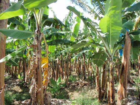 Banana Plantation Picture Of Cosol Tours Castries