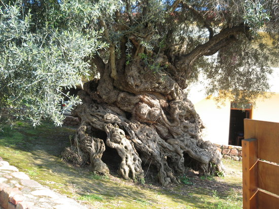 Chania Town, Greece: The Oldest Olive Tree in the World - Chania - Crete