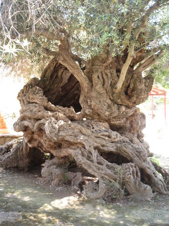 Chania Town, Greece: Olldest Olive Tree aged between 3,500 - 5,000 years old at Vouves - West Crete