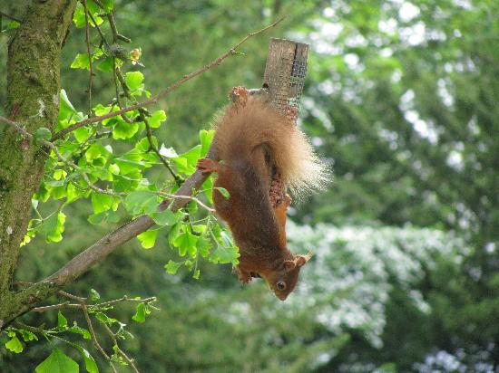 Overwater Hall: Red squirrel hanging from a bird feeder on the hotel grounds
