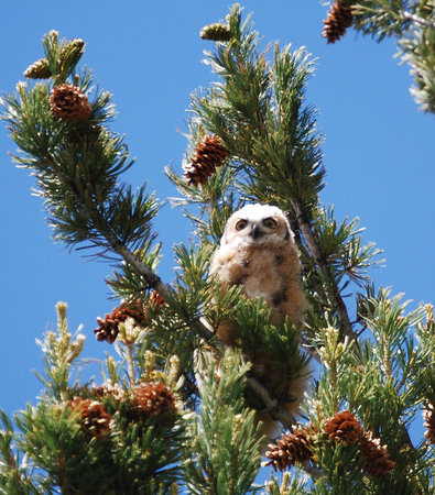 Yellowstone nationalpark, WY: Baby Owl at Mammoth