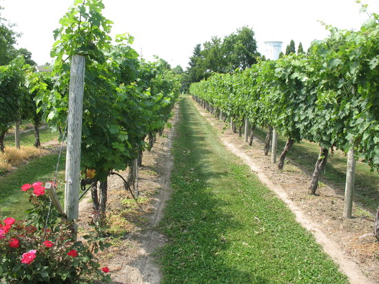 Cape May, NJ : In The Vineyard