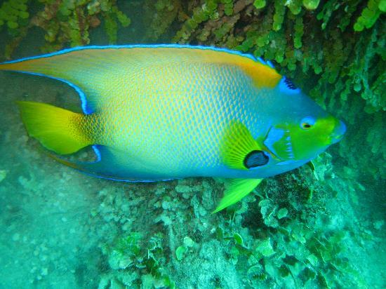 Bahamas: Queen Angelfish