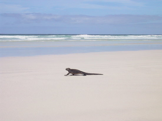 Galapagos Islands, Ecuador: Lone marine Iguana at Tortuga Bay Beach