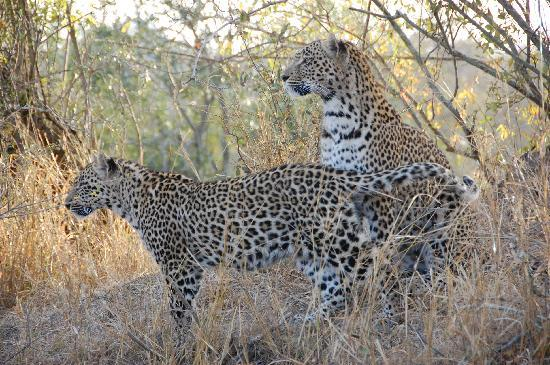 Vuyatela Lodge & Galago Camp: leopard