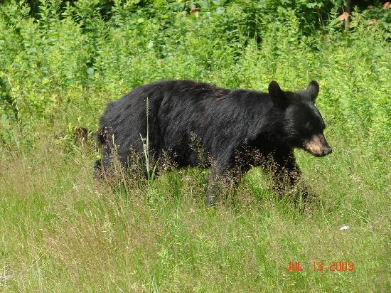 Franconia, Нью-Гэмпшир: Saw this mother bear and her two cubs right up the street from the motel.