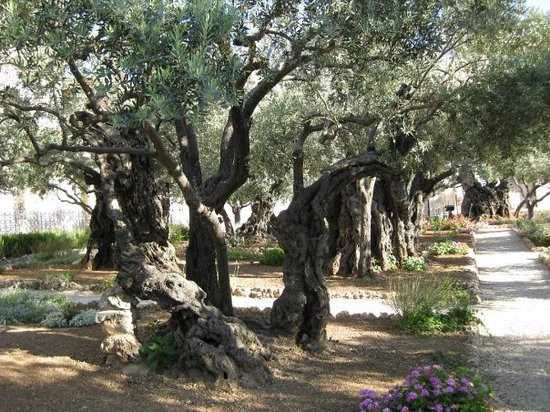 Garden of Gethsemane - Jerusalem - Reviews of Garden of Gethsemane ...