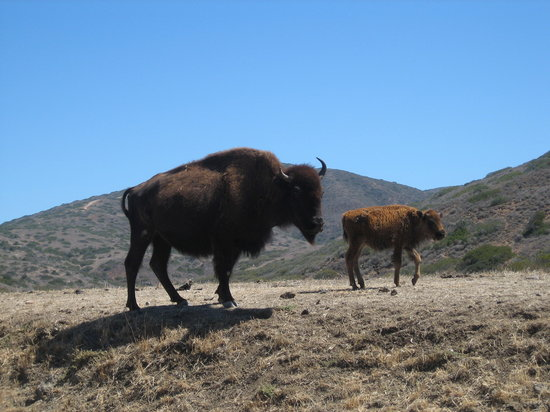 Avalon, CA: Buffalo and Calf