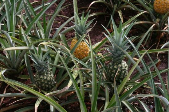 un plant d 39 ananas dans les jardins de la compagnie dole picture of waianae oahu tripadvisor. Black Bedroom Furniture Sets. Home Design Ideas