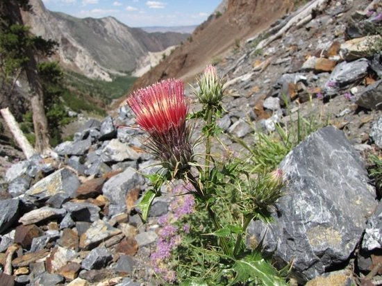 Mammoth Lakes, CA: Stop to catch my breath and record a cool-looking thistle.