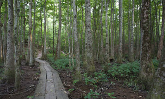 North Carolina: Boardwalk at Neuse River forest walk