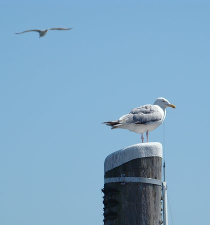 Hyannis Inn Motel: seagulls at the Harbor
