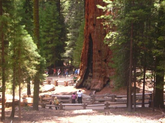 General sherman tree largest tree in the world
