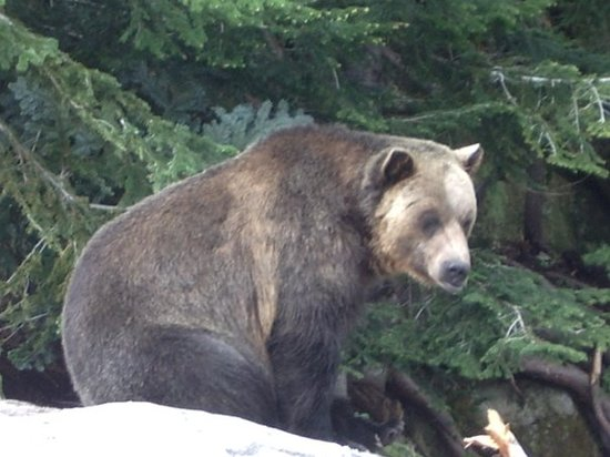 Lake Louise, Kanada: Grizzly Bears
