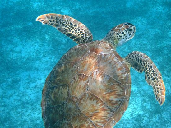 Crystal Cove Beach Resort on Sapphire Bay: Green Turtle at Sapphire