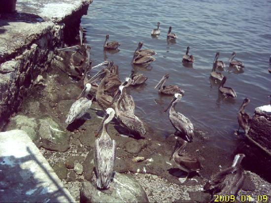 Stone Island Gardens: Pelicans get plenty to eat from the shrimp fleet.