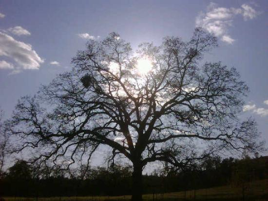 Angels Camp, Kalifornia: Oaktree at Ironstone Winery, great winery, amazing grounds with amphitheater, gardens, cavern