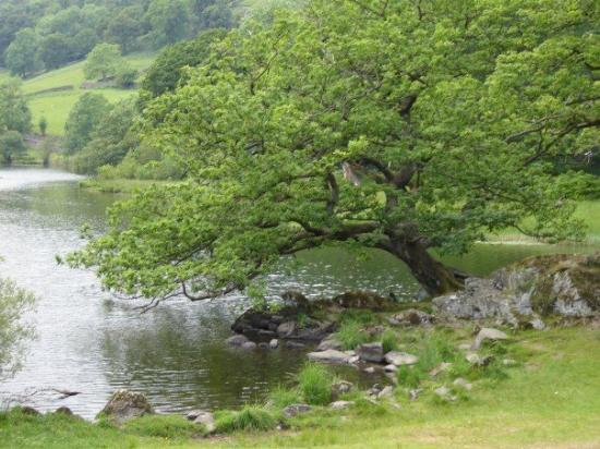 Grasmere, UK: Tree overhanging Rydal Waters