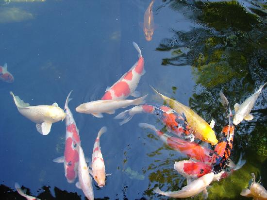 The pond huge koi carp in there picture of guia de for Koi carp centre