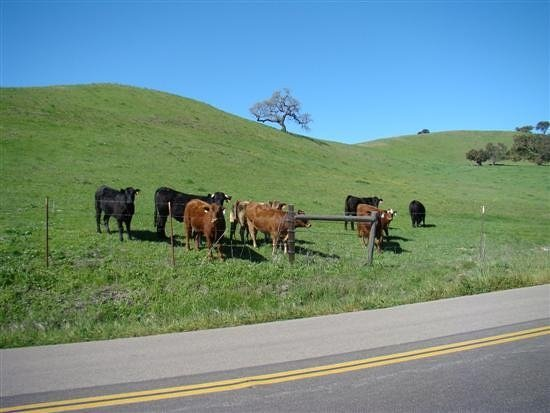 cows in santa ynez valley
