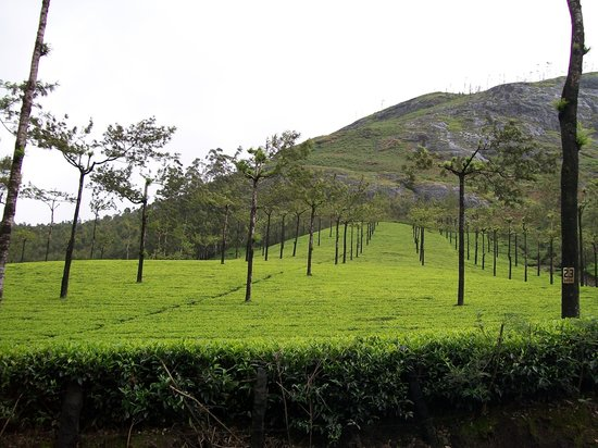 Munnar, Indien: Tea plantation