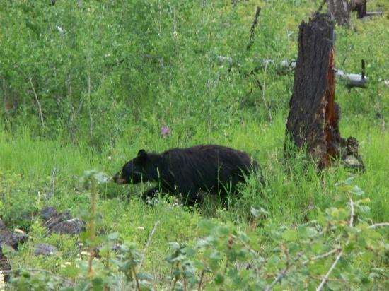 Tower Fall Campground: We saw this Black Bear within 2-3 miles of the campground