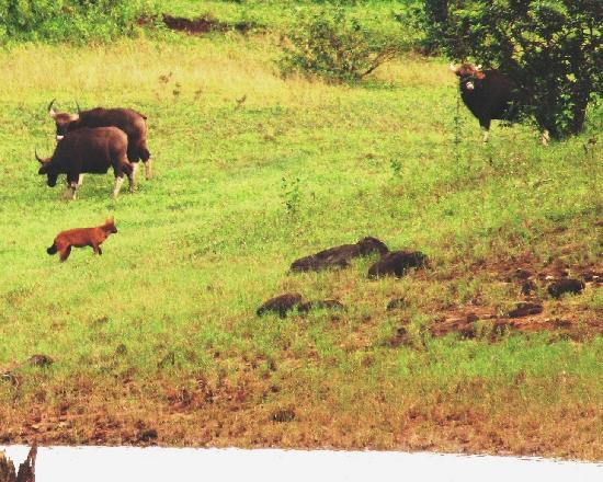 Green Woods Resort: the dhole leader weighs its chances against the bull gaur [ behind the bush]