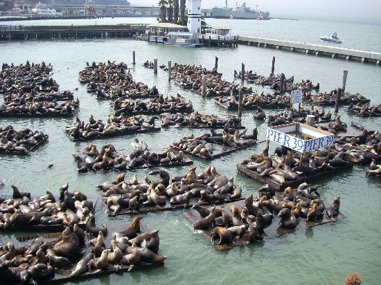 Seals On Pier 39 Picture Of San Francisco California