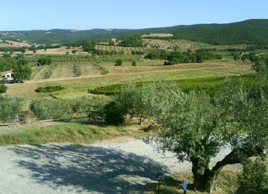 Villa Il Tesoro: olive trees and vineyards