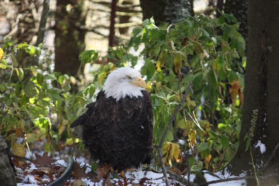 Linville, NC: Eagle