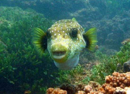 Playas del Coco, Costa Rica: Puffer fish