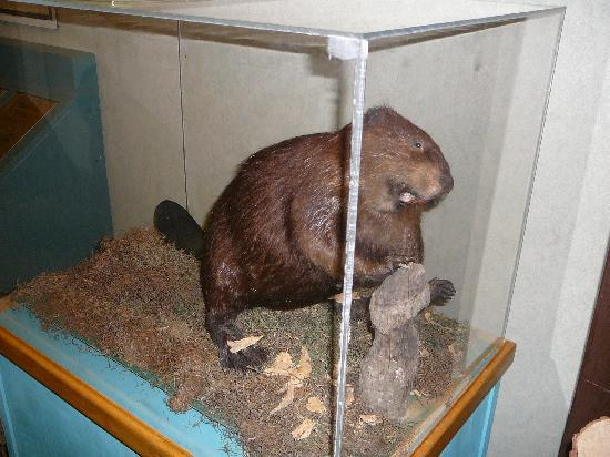 Beaver on display in whale wallow nature center at lums
