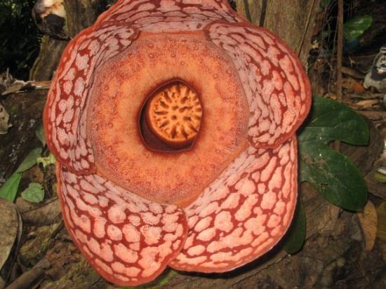 Ipoh, Malasia: rafflesia