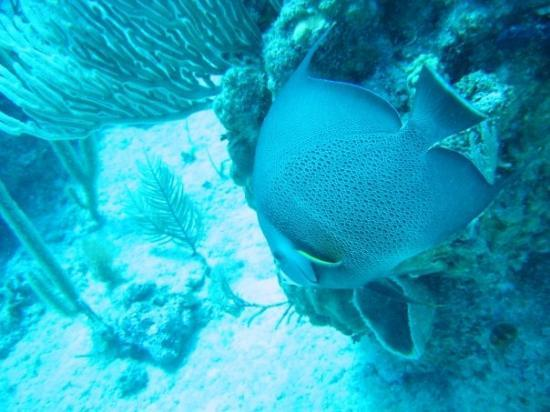 Providenciales: Big Angelfish