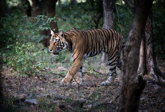 Ranthambhore Safari Lodge: The main event!