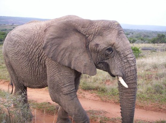 Oudtshoorn, South Africa: Shamwari ... Eliphant