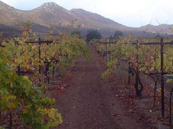 Valle de Guadalupe, Mexico: Baron Balch'e Vineyard - across the valley from the Hacienda