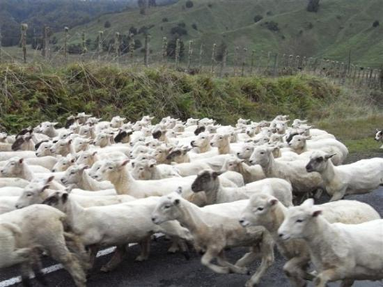 Stratford, New Zealand: Quick throw the sheep out....