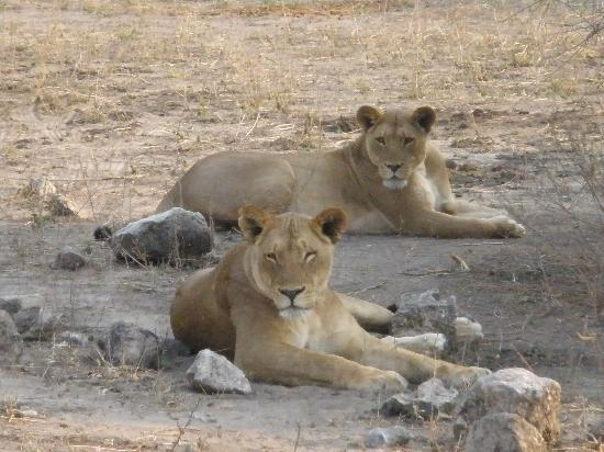 Chobe National Park, : Lions