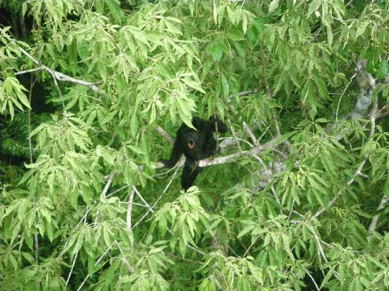 Flores, Guatemala: Ixpanajul - black howler monkey