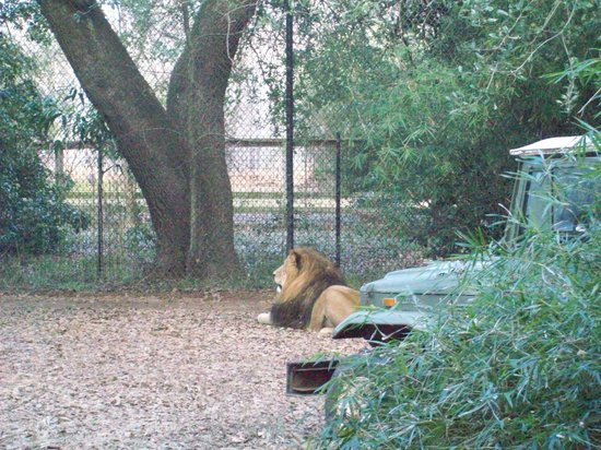 Alexandria, LA: beautiful lion exhibit