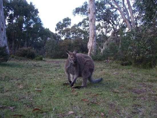 Derwent Bridge Chalets & Studios: Wallaby at the local pub