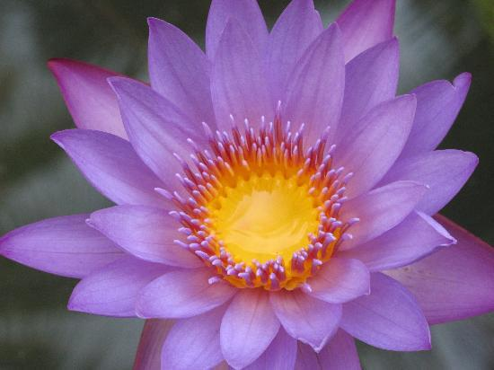 Purple Lotus 사진