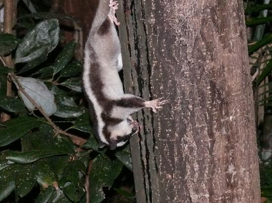 Rainforest Units: striped possum outside our room