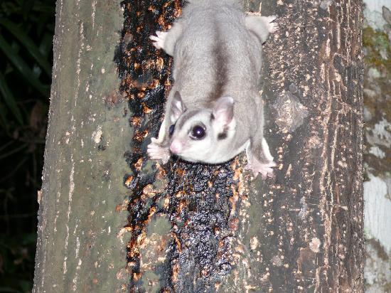 Rainforest Units: sugar glider on the sugar lick outside our room
