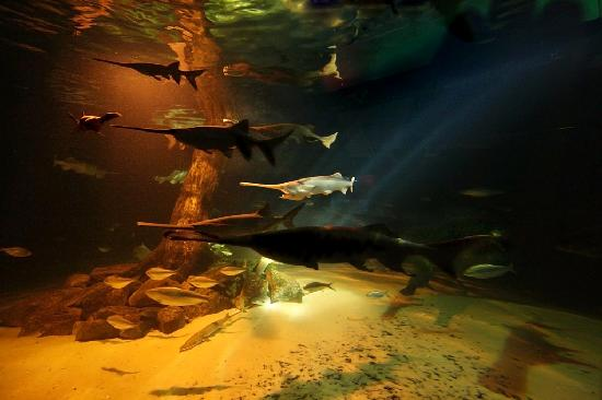 Jenks, OK: Paddlefish in the Oklahoma Fishes Gallery