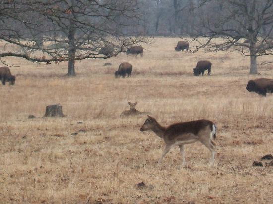 Bartlesville, OK: And the deer and the antelope play ...