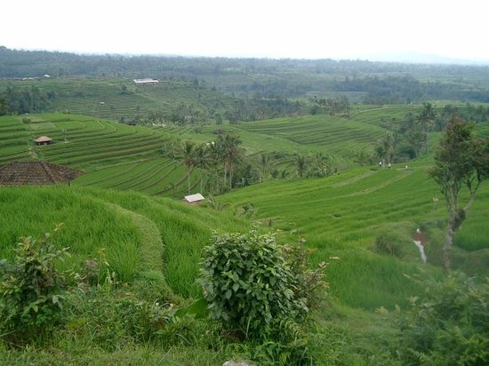 Tabanan, Indonsie : Rice Fields 