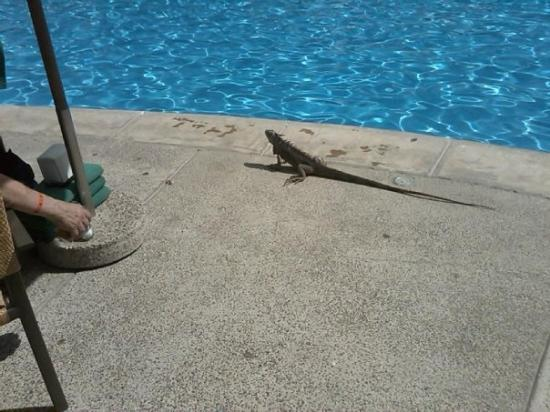 Mayan Palace Mazatlan: There was a small island in the middle of the pool. The 4 iguanas that lived there would join is